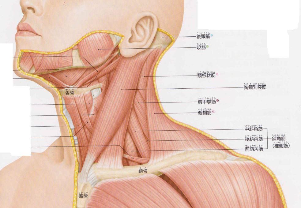 胸鎖乳突筋、斜角筋